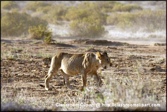 2_lion_8.jpg
