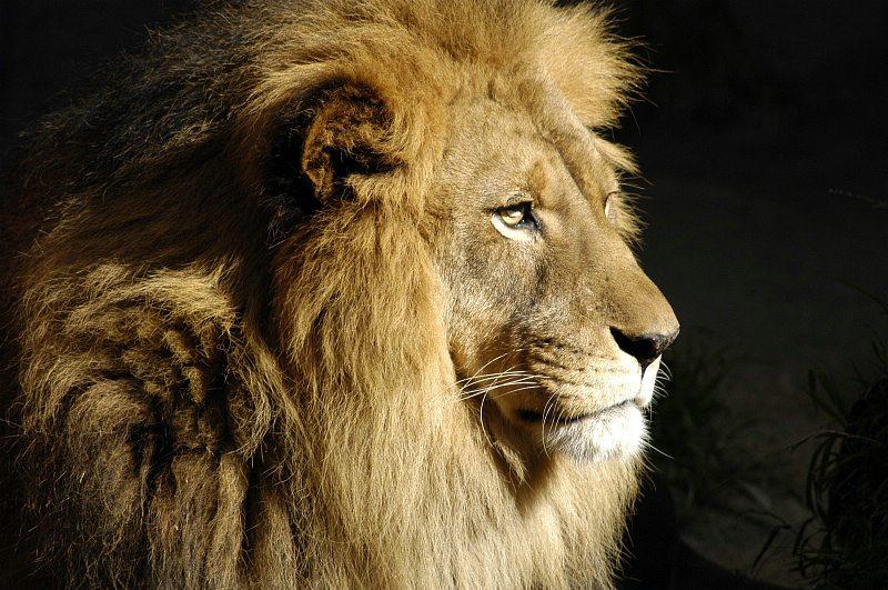 lion-0055AP.jpg