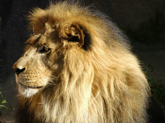 lion-0064d2.jpg