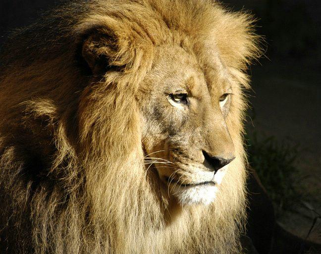 lion-0068d2.jpg