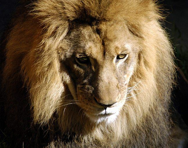 lion-0072d2.jpg