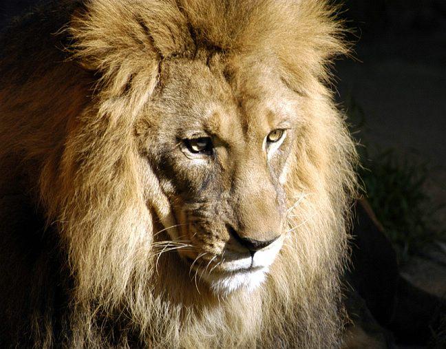 lion-0073d2.jpg
