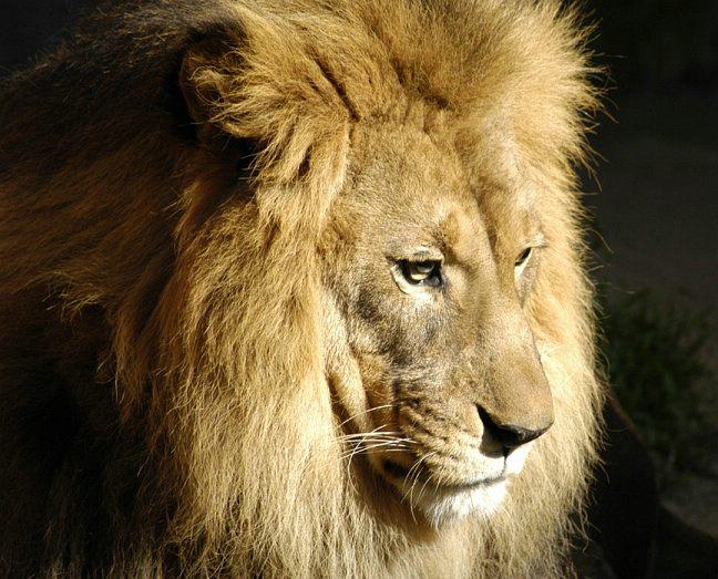 lion-0074d2.jpg