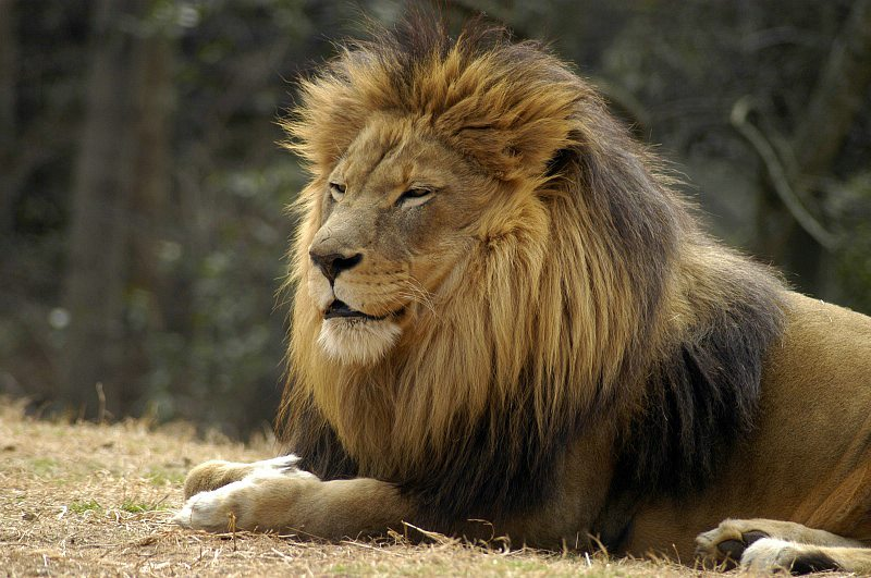 lion-1017AP.jpg