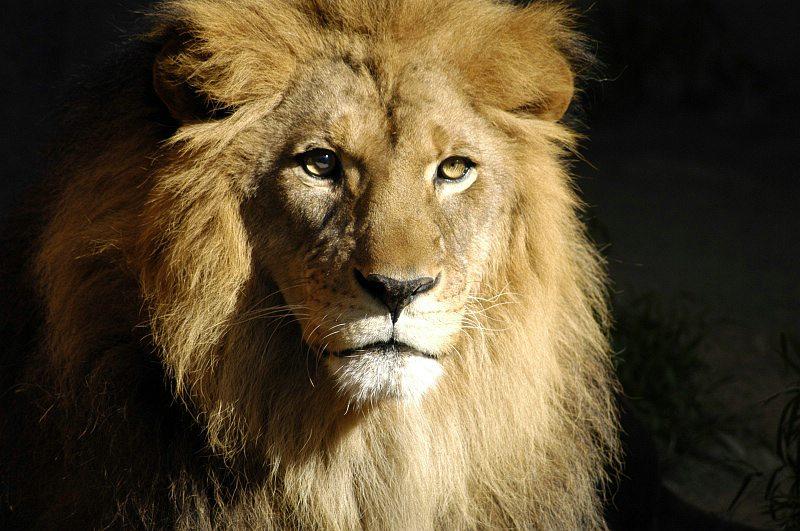 lion_112.jpg