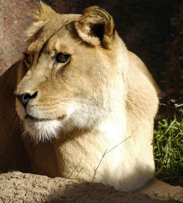 lion_118.jpg