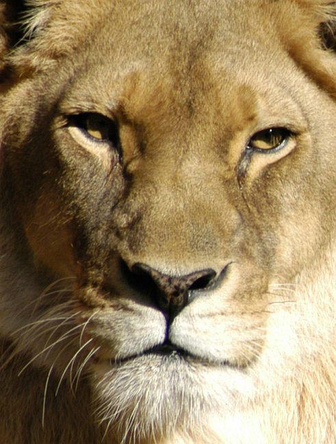 lion_128.jpg