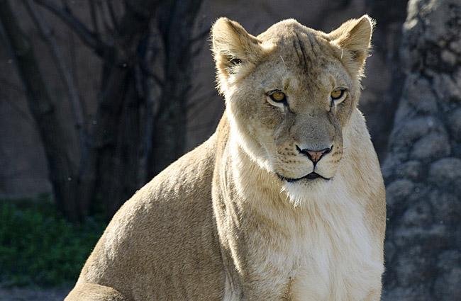 lion_6760.jpg