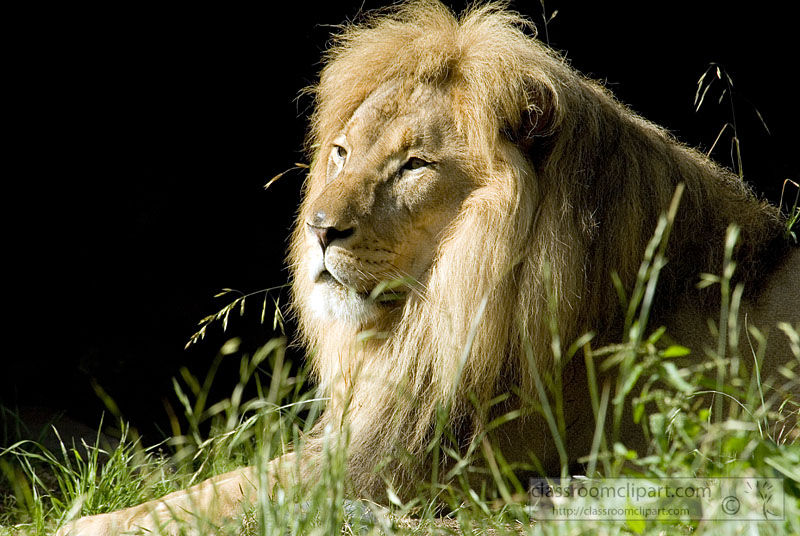picture-lion-807-297-1.jpg