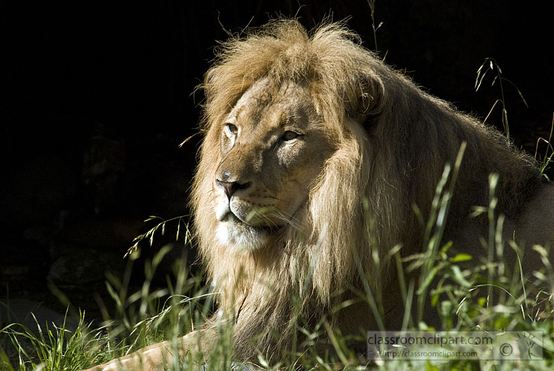 picture-lion-807-299-1.jpg