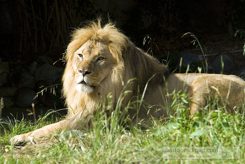picture-lion-807-304-1.jpg