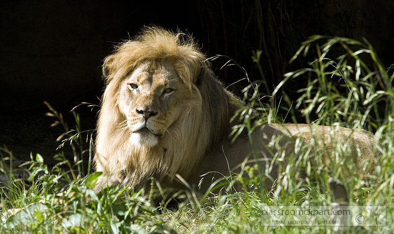picture-lion-807-307-1.jpg
