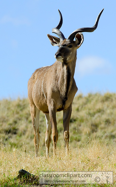 greater_kudu_449A.jpg