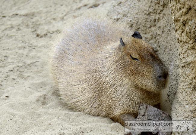 capybara-animal-picture-1393A.jpg