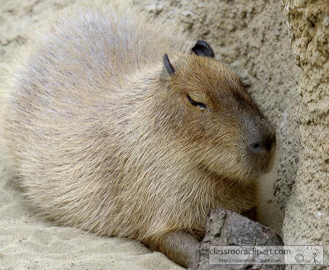 capybara-animal-picture-1393B.jpg