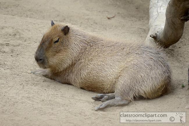 capybara-animal-picture-1416A.jpg