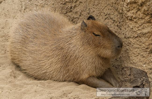 capybara-animal-picture-2559.jpg