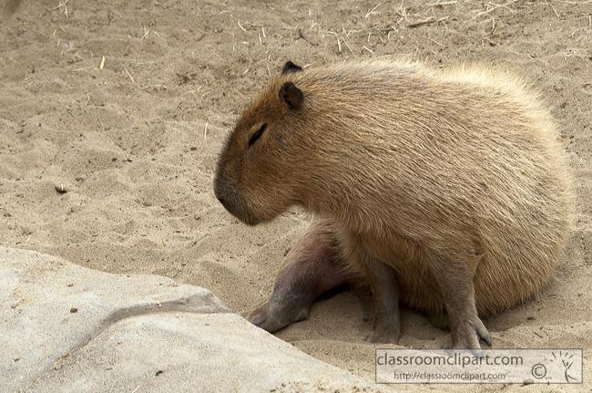 capybara-animal-picture-2560.jpg