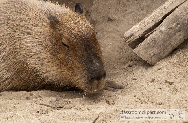 capybara-animal-picture-2570.jpg