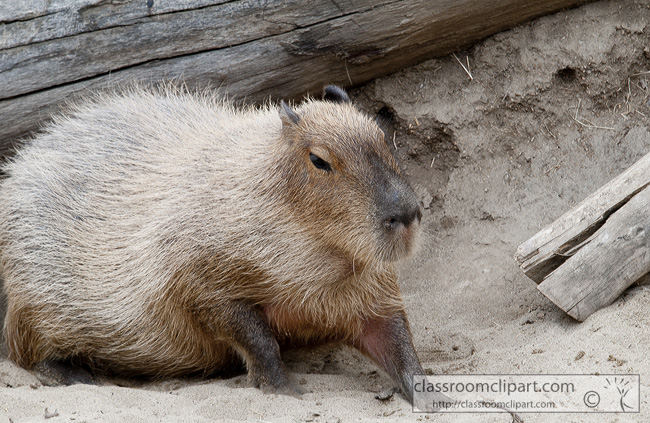 capybara-animal-picture-2579.jpg