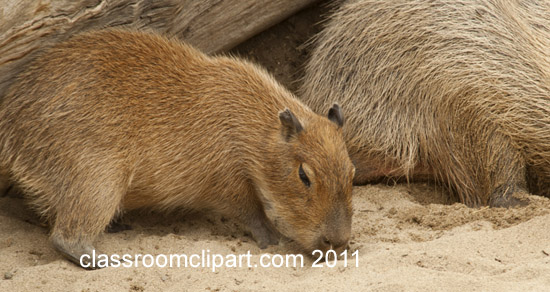 capybara-animal-picture-baby-2585.jpg
