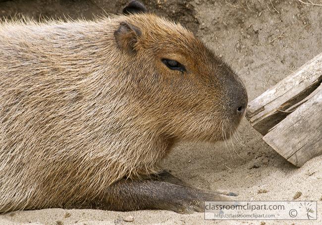 capybara-animal-picture-closeup-75.jpg