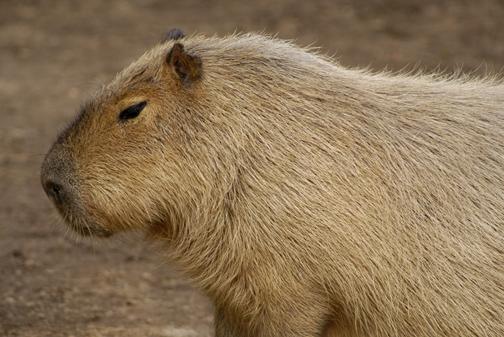 capybara_animal_picture_3026w.jpg