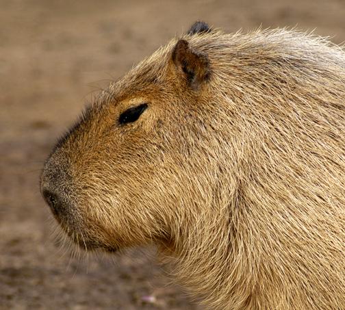 capybara_animal_picture_3029w.jpg