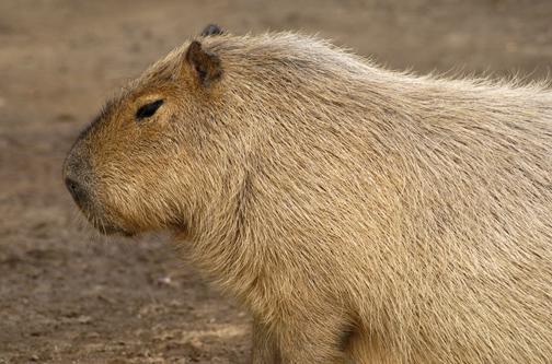 capybara_animal_picture_3030w.jpg