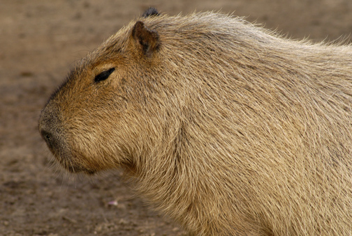 capybara_animal_picture_3031w.jpg