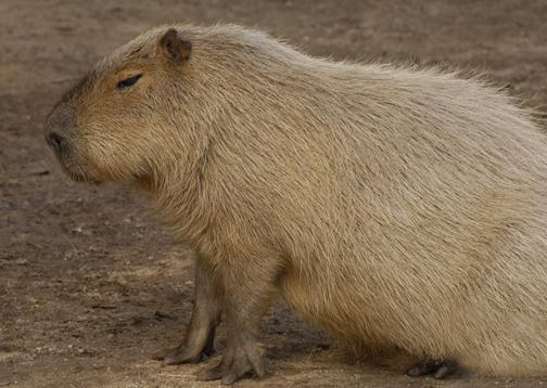 capybara_animal_picture_3032w.jpg