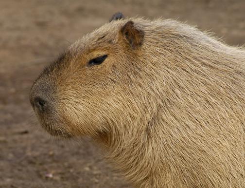 capybara_animal_picture_3033w.jpg
