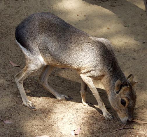 cavy-animal-pic-83A.jpg