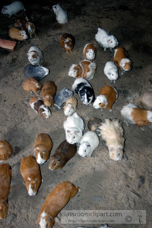 guinea-pig-in-inside-home-peru.jpg