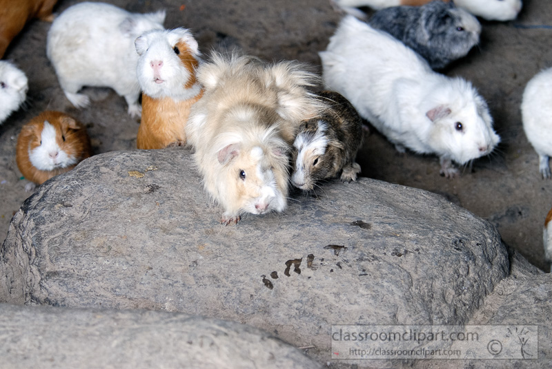 peruvian-guinea-pig-photo-090.jpg