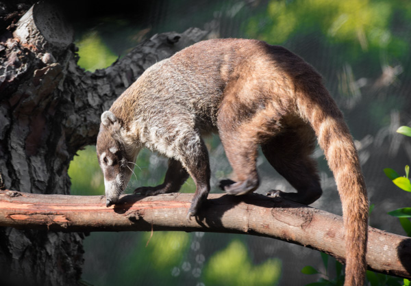 coati-animal-on-tree-branch-photo_83743.jpg
