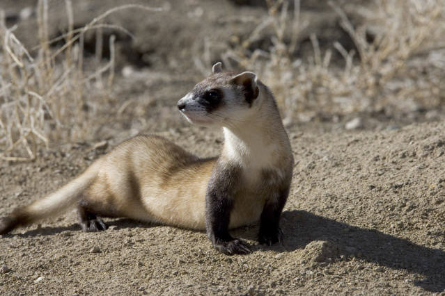 photo-black-footed-ferret-laying-in-dirt-colorado.jpg