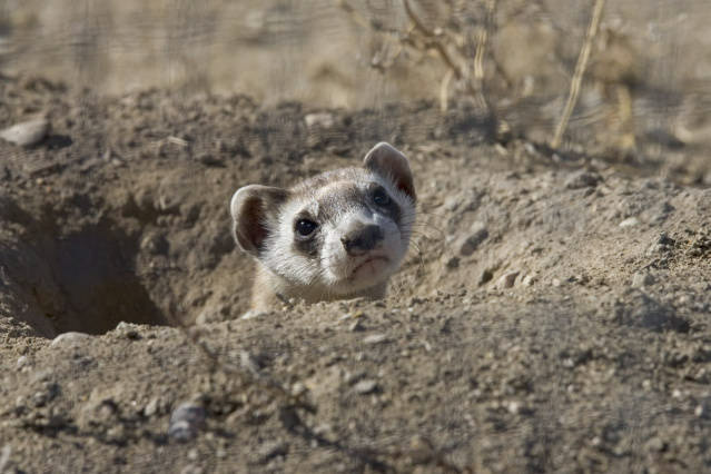 photo-black-footed-ferret-looking-out-of-hole-in-ground-colorado-2.jpg