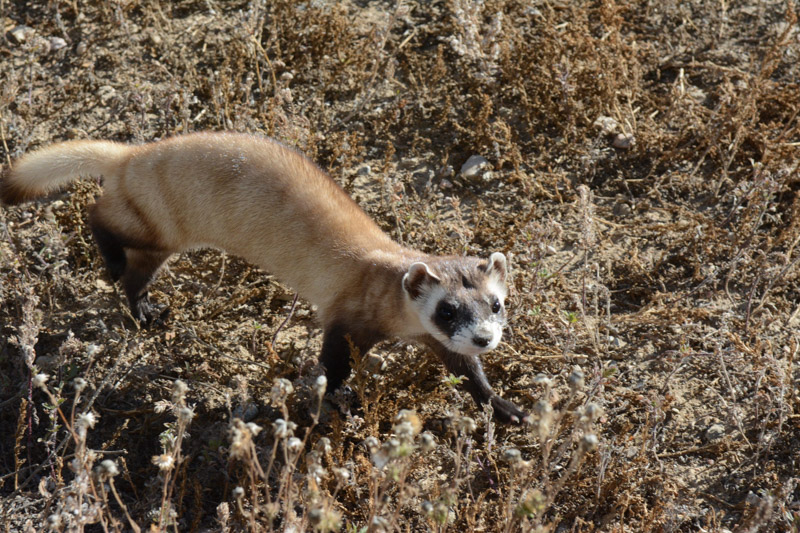 photo-black-footed-ferret-walking-in-dry-grass.jpg
