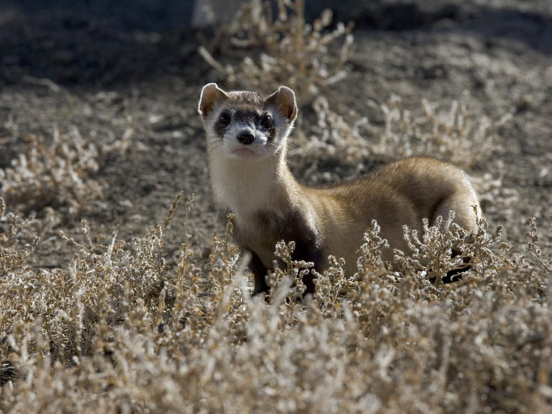 photo-black-footed-ferret.jpg