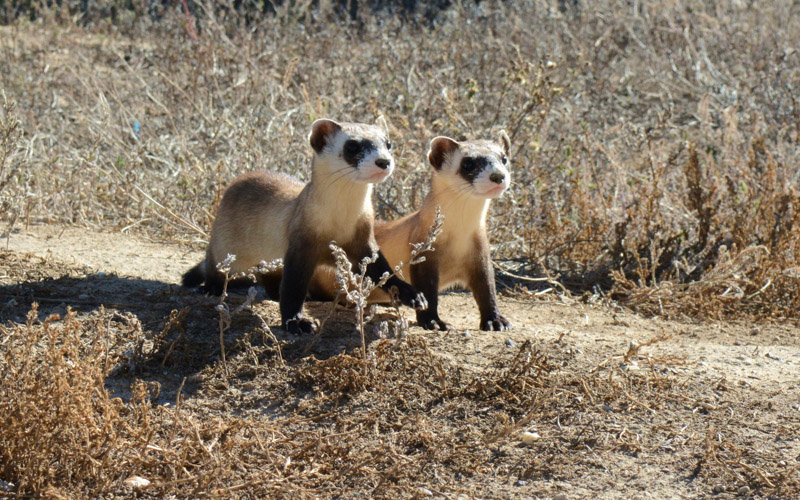 photo-two-black-footed-ferret-kits-colorado.jpg