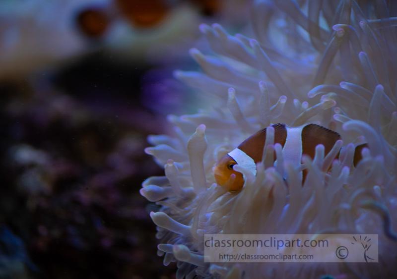 photo-of-clownfish-symbiotic-relationship-with-stinging-sea-anemones_8508015.jpg