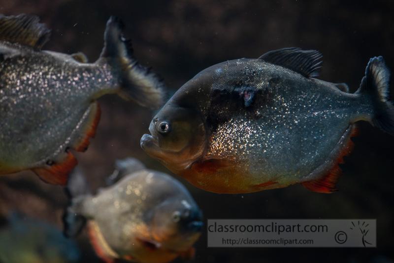 photo-of-man-eater-piranha-fish-13.jpg