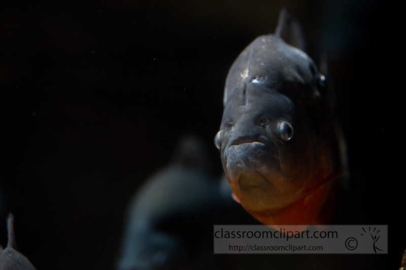 photo-of-man-eater-piranha-fish-17.jpg