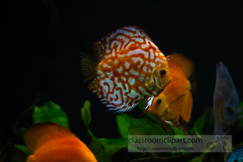 photo-of-orange-white-discus-fish-from-cichlid-family_8508101.jpg
