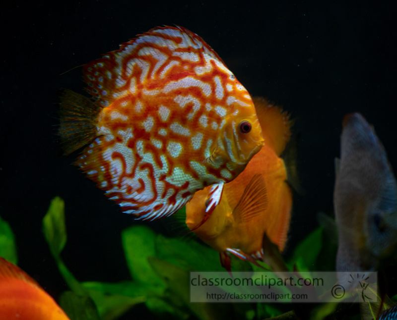 photo-of-orange-white-discus-fish-from-cichlid-family_8508102.jpg