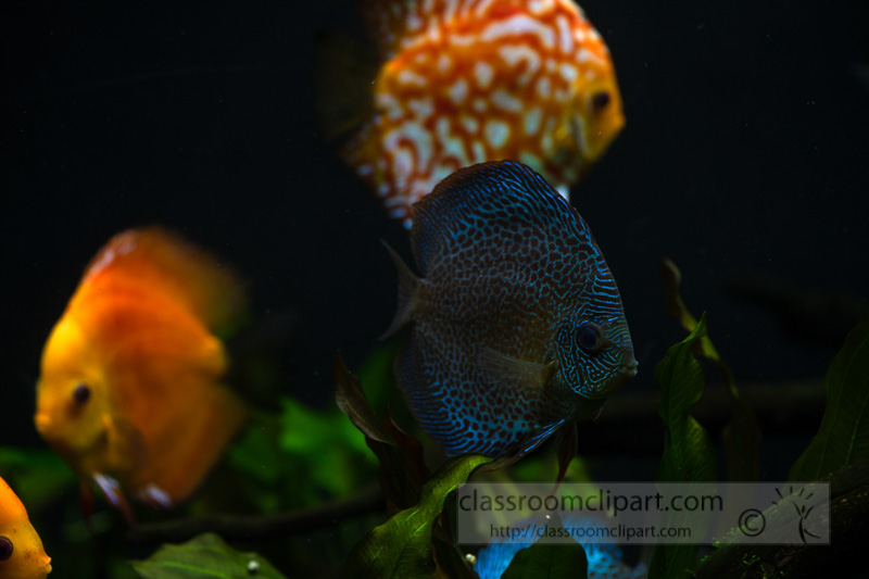 photo-of-orange-white-discus-fish-from-cichlid-family_8508103.jpg
