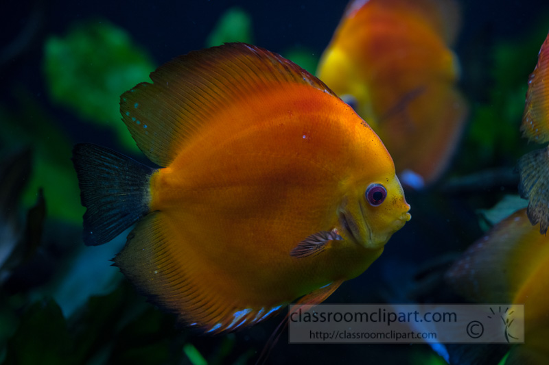 photo-of-orange-white-discus-fish-from-cichlid-family_8508106.jpg