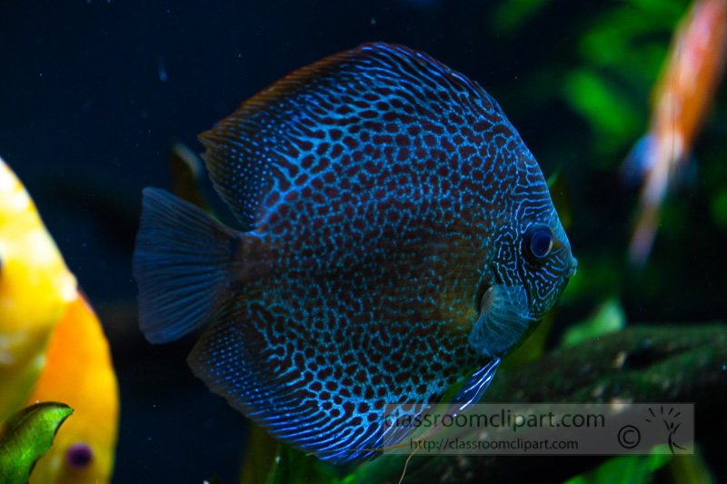 photo-of-orange-white-discus-fish-from-cichlid-family_8508108.jpg