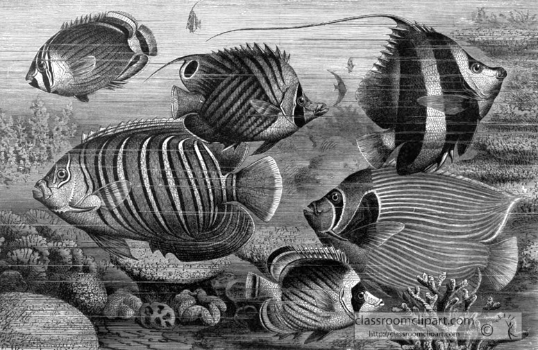 group-of-scaly-finned-fish-bw-animal-illustration.jpg